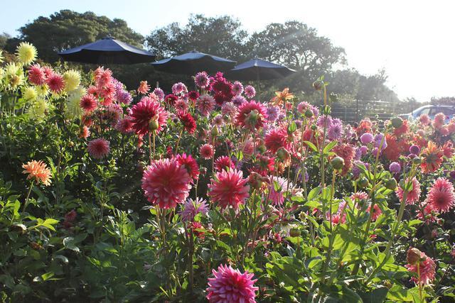 Elkhorn Garden Dahlias / Monterey , Calif 95076